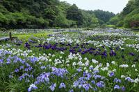 静岡県 はままつフラワーパークの花菖蒲園