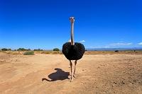 南アフリカダチョウ