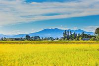 栃木県 収穫期の稲田