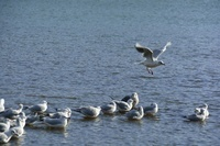 武庫川河川敷の野鳥 ユリカモメ