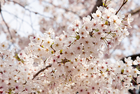 桜 桜のイメージ