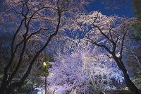 東京都 六義園 夜桜