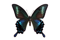 蝶 標本 ミヤマカラスアゲ ♂ 日本