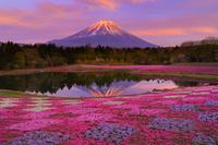 山梨県 富士芝桜まつり 夕刻の富士山と竜神池の芝桜