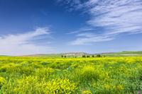 トルコ アナトリア 菜の花