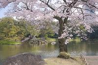 東京都 小石川後楽園 桜
