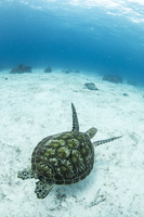 フィリピン バリカサグ島 アオウミガメ