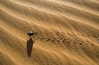ナミブ砂漠カブトムシ