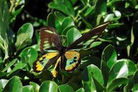蝶 標本 ロスチャイルドトリバネアゲハ インドネシア