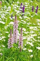 白い菊に囲まれるルピナス