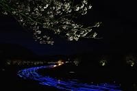 静岡県 みなみの桜と菜の花まつり 流れ星