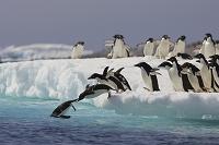 南極 海に飛び込むアデリーペンギン