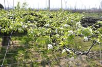 新潟県 新潟市 南区 ル・レクチェの花