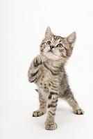 立って前足を上げている子猫