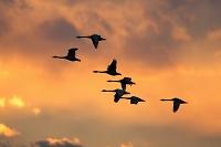 茨城県 白鳥