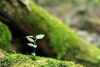 山梨県 大室山ブナ林 倒木に芽吹いた若葉
