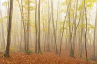 新潟県 美人林の秋