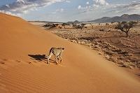 ナミビア チーター