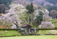 福井県 桜咲く朝倉館跡正面の堀に面して建つ唐門