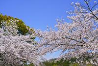 奈良県 奈良市 奈良公園の桜