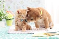アメリカンショートヘア(猫)と柴犬