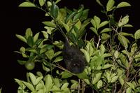固有種のオガサワラオオコウモリ