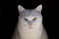 眼の色が違う猫