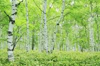 長野県 八千穂高原 新緑のシラカバ林