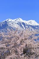 長野県 桜と残雪の北アルプス爺ヶ岳
