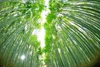 魚眼レンズの京都嵯峨野の竹林
