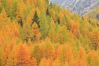 スイス フリェラパス峠 黄葉
