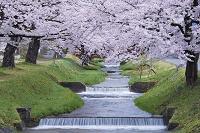 福島県 観音寺川桜並木