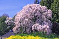 福島県 合戦場のしだれ桜