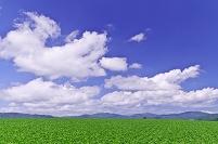 北海道 なだらかな豆畑の丘