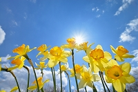 栃木県 スイセンの花と太陽
