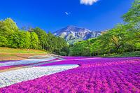 埼玉県 羊山公園の芝桜
