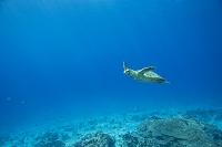 モルディブ サンゴ礁の風景 タイマイ