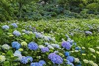 京都府 紫陽花咲く舞鶴自然文化園