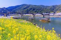 山口県 菜の花咲く錦川と錦帯橋 遊覧船 さくら舟