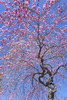京都 大原野 紅梅