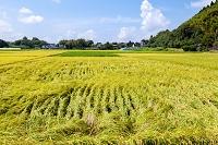 島根県 風害で倒れた稲