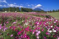宮崎県 コスモス咲く生駒高原