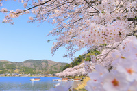 滋賀県 朝の海津大崎の桜並木と青空