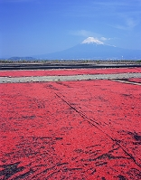 静岡県・静岡市 サクラエビの天日干しと富士山