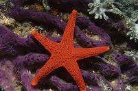 フィリピン 赤い海星