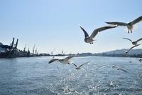 静岡県 清水港ベイクルーズ船よりユリカモメ