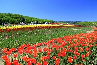 新潟県 越後丘陵公園 チューリップ