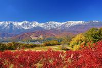 長野県 白馬村 野平の紅葉のブルーベリーと白馬連峰