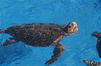 水面で呼吸するアカウミガメ