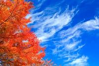 十和田市 紅葉のモミジ